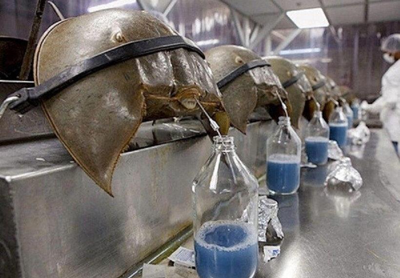 Foto Penggunaan darah Kepiting Tapal Kuda